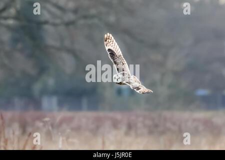 Short-eared Eule (Asio Flammeus) Jagd Banking fliegen über Wiese - Stockfoto