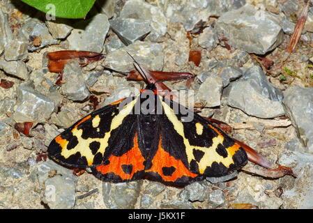 Scharlachrote Tiger moth - Stockfoto