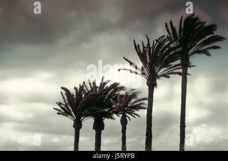 Palmen im Wind gegen bedecktem Himmel. - Stockfoto
