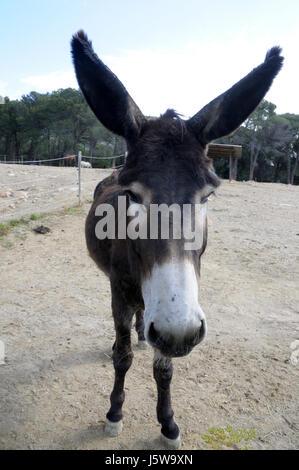 Esel Kopf und die Ohren in Montseny, Catalunya.  Einfache, grundlegende, Säugetier, Familie Equiden, speziell Orden - Stockfoto