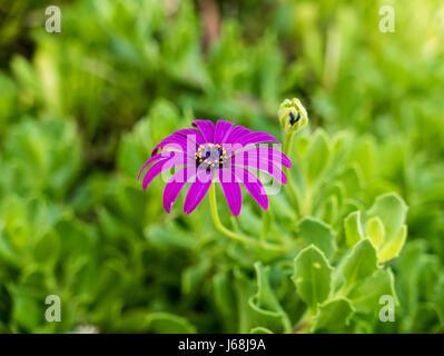 Nahaufnahme einer lila Blume im Feld. - Stockfoto