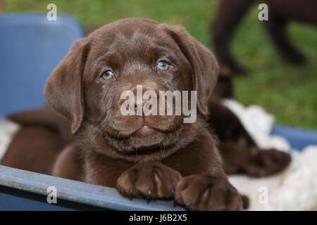 brauner Baum Tiere Hund Hunde Zweig Welpen werfen Jagdhund Labrador Welpen Welpen - Stockfoto