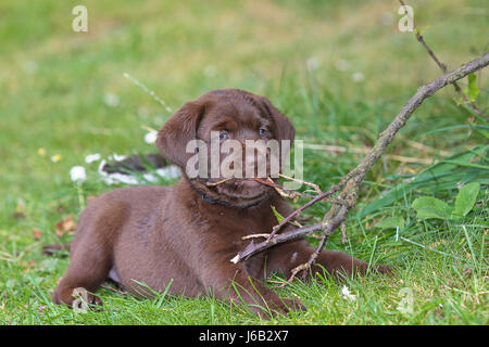 Chocolate Labrador Welpen, 6 Wochen alt - Stockfoto