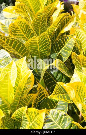 Grün und gelb geäderten Blättern eine tropische Pflanze-Hintergrund Stockfoto