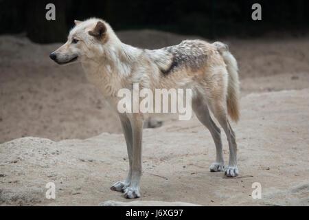 Nordwestlichen Wolf (Canis Lupus Occidentalis), auch bekannt als der Mackenzie-Tal-Wolf. - Stockfoto