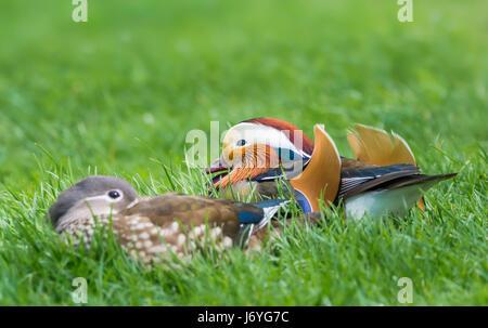 Drake & Henne Mandarineenten. Paar Mandarinenten (Aix Galericulata) in der Paarung Gefieder auf Rasen im späten Frühjahr in West Sussex, England, UK. Stockfoto