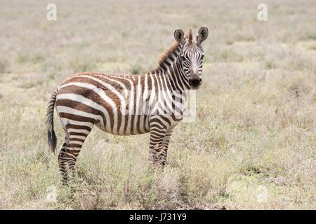 Burchel Zebra (Equus Quagga Burchellii) auf den Ebenen der Serengeti - Stockfoto