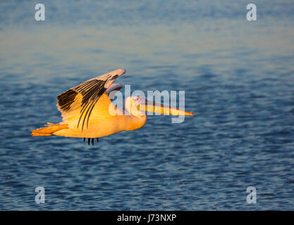 Pelikane sind eine Gattung der große Wasservögel, aus denen sich die Familie Pelecanidae. Sie zeichnen sich durch einen langen Schnabel und einen großen Kehlsack.