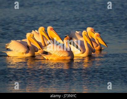 Pelikane sind eine Gattung der große Wasservögel, aus denen sich die Familie Pelecanidae. Sie zeichnen sich durch - Stockfoto