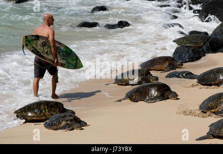 Eine Surfer geht vorbei an einer Gruppe von ruhenden Hawaiianische Grüne Meeresschildkröten am Hookipa Beach Park, - Stockfoto