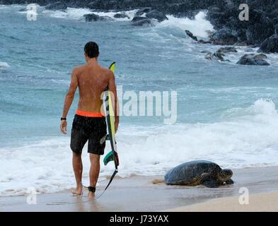 Eine Surfer geht vorbei an einem Hawaiian grünen Meeresschildkröte an Land kommen am Hookipa Beach Park, Paia, Maui, - Stockfoto