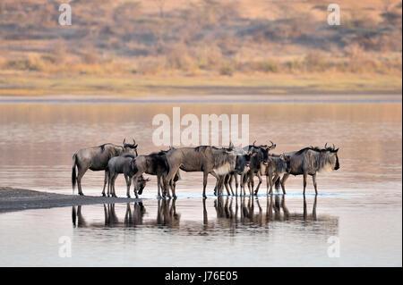 Gnus (Connochaetes Taurinus), Gnu, Herde im Wasser stehend und spiegelt sich im Wasser, Ndutu-See, Serengeti Nationalpark, - Stockfoto