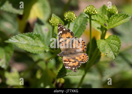 Distelfalter Schmetterling - Vanessa Cardui - Mai 2017, Los Angeles, Kalifornien USA - Stockfoto