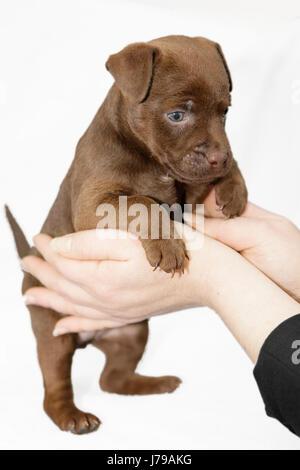 Portrait Hund Welpen Terrier Stammbaum Hund Hund junge jüngere blaue Hand finger - Stockfoto