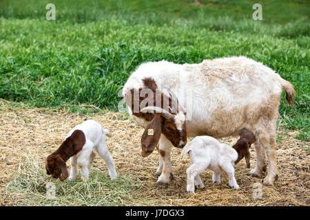 """Mutter Boer Ziege """"Capra Aegagrus Hircus"""" mit zwei Tage alten Kindern, Krankenpflege & Fütterung auf Luzerne, Bauernhof, - Stockfoto"""