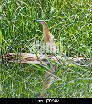Squacco Heron ardeola ralloides thront auf einem hölzernen im Gras Schilf mit Reflexion über den Fluss Wasser anmelden - Stockfoto