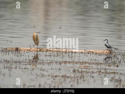 Ardeola ralloides squacco Heron und Sporn - winged plover Vanellus spinosus auf einer hölzernen log Schwimmende - Stockfoto