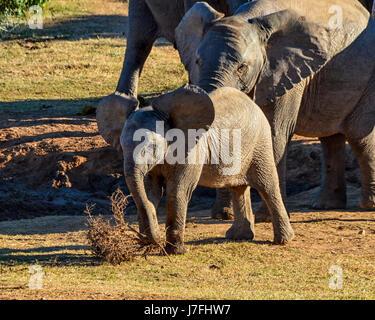 Ein Baby spielt Elefanten mit einem Toten Busch im südlichen afrikanischen Savanne - Stockfoto