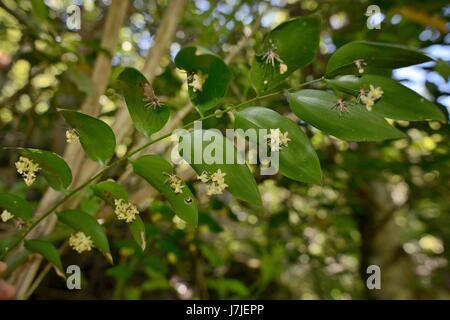 Klettern Mäusedorn (Semele Androgyna) Blüte von blattartigen abgeflachte Stängel oder Kladodien im Lorbeerwald Los - Stockfoto