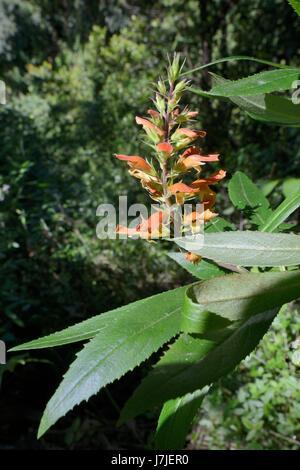 Cresta de Gallo / Crestagallo de Doramas (Isoplexis Chalcantha) eine IUCN vom Aussterben bedroht endemische Arten, - Stockfoto