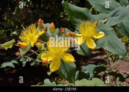 Großer-blättrig Johanniskraut (Hypericum Grandifolium), endemisch auf den Kanarischen Inseln und Madeira, blüht - Stockfoto