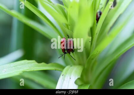 Lilioceris Lilii, Nahaufnahme. Eingeführte Feind der Lilie Pflanzen, ein Befall der Kupplung Scarlet Käfer angreifen - Stockfoto