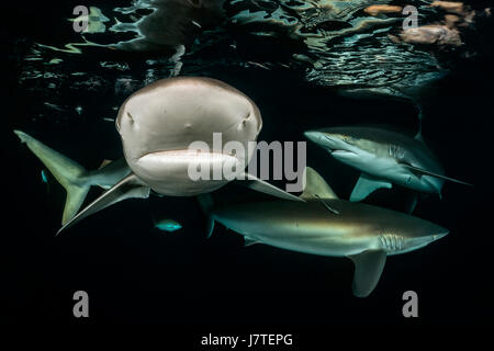 Silky Haifisch, Carcharhinus Falciformis, Jardines De La Reina, Kuba - Stockfoto