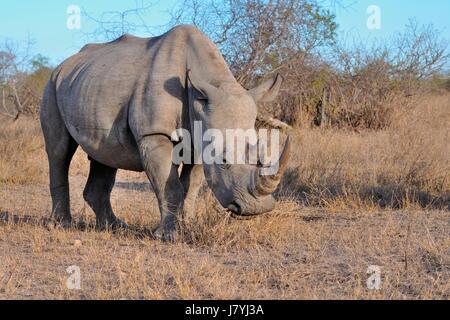 Breitmaulnashorn oder Square-lippige Rhinoceros (Ceratotherium Simum), Männchen, Weiden, Krüger Nationalpark, Südafrika, - Stockfoto