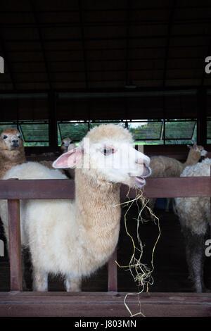 Gesicht des Lama Alpakas im Bauernhof hautnah - Stockfoto