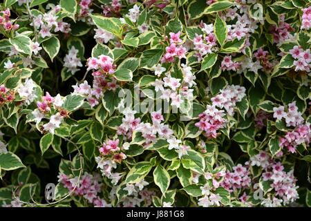 Bunte Weigela in Blüte - Stockfoto