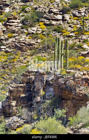 Elegante Gruppierung des Saguaro Kaktus stehen auf Felsvorsprung auf Mount Lemmon in Tucson, Arizona.  Ansicht von - Stockfoto