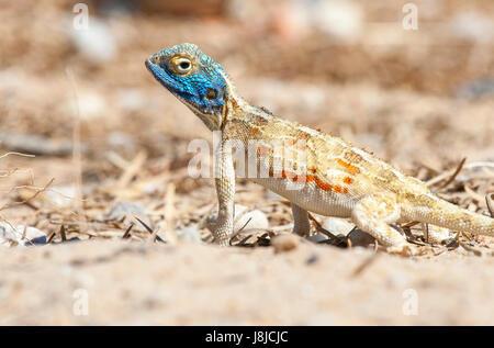 Ein Portrait-Foto von einem Boden Agama. - Stockfoto
