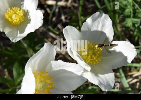 Weiße Wildblumen (Anemone Sylvestris) mit gelber Mitte, im späten ...