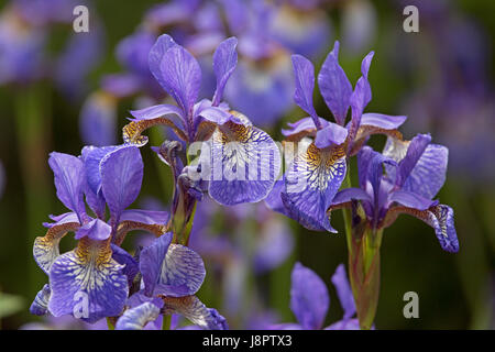Sibirische Schwertlilie (Iris Sibirica) in Blumen - Stockfoto