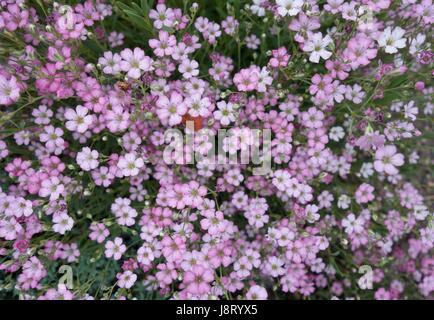 Kleine lila Bodendecker Blumen Stockfoto, Bild: 143126990 - Alamy