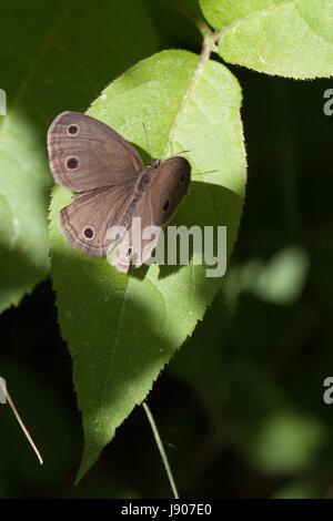 Kleine Holz Satyr Schmetterling ruht auf einem Blatt im Sonnenlicht. Isoliert auf einem unscharfen Hintergrund. Stockfoto