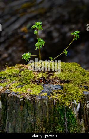 Ein junger Baum Sprossen aus einem alten, Toten stumpf, geben ein gutes Beispiel für einen Neuanfang oder Wiedergeburt. - Stockfoto