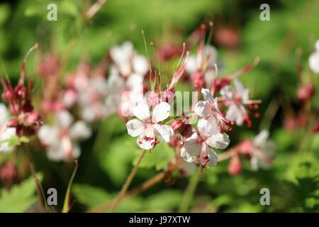 Blühendener Storchschnabel - Stockfoto