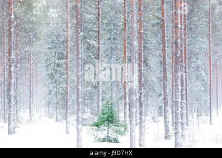 Bäume in den verschneiten Wäldern hüllte in den Morgennebel, Alaniemi, Rovaniemi, Lappland, Finnland, Europa - Stockfoto