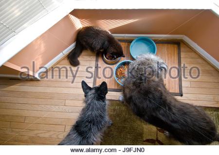 Zwei Hunde und eine Katze essen von Schalen auf einer Matte. - Stockfoto