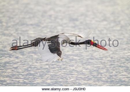 Sattel – abgerechnet Storch, Nahrung Senegalensis, über das Wasser fliegen. - Stockfoto