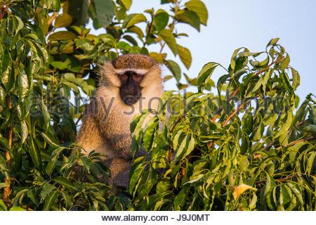 Ein Vervet Affen, Chlorocebus Pygerythrus, in einem Baum. - Stockfoto