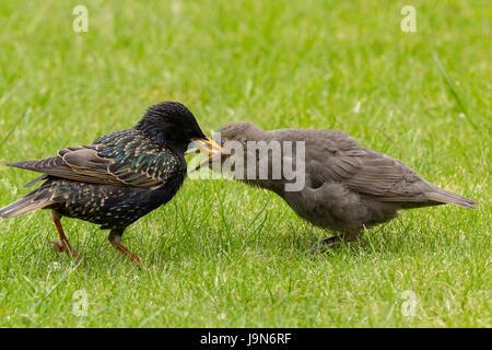 Stare Sturnus Vulgaris Eltern füttern Jungvögel auf Rasen mit Brot oder Fett Block in der Nähe. Kinder betteln um - Stockfoto