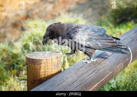 Kolkrabe sitzt auf einem Holzbalken, Nahaufnahme - Stockfoto