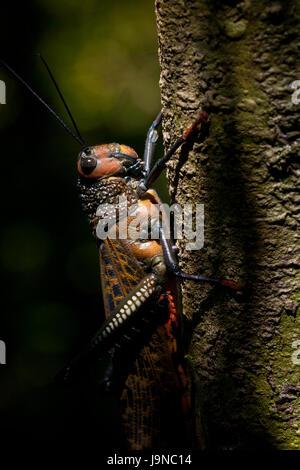 Große Heuschrecke, Tropidacris cristata, im Regenwald des Cerro Hoya Nationalpark, Provinz Veraguas, Republik Panama. - Stockfoto