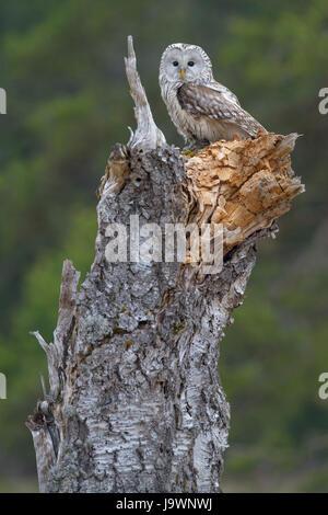 Habichtskauz (Strix Uralensis), sitzt auf alten Birke Stamm, Böhmerwald, Tschechien - Stockfoto