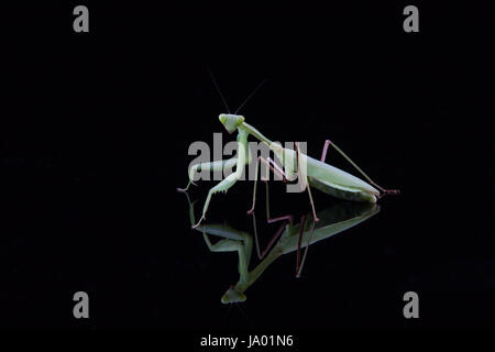 Mantis - Stockfoto