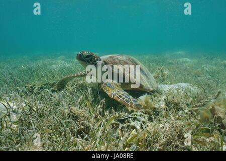 Unter Wasser, die grüne Meeresschildkröte, Chelonia Mydas, auf einer grasbewachsenen Meeresboden, Süd-Pazifik, Lagune - Stockfoto