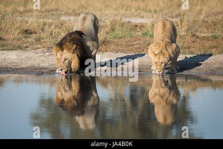 Männliche und weibliche Löwen Trinkwasser aus einer natürlichen Pfanne im Bereich Savuti von Botswana