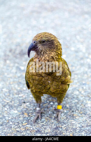 Kea Vogel (Nestor Notabilis) in Neuseeland - Stockfoto